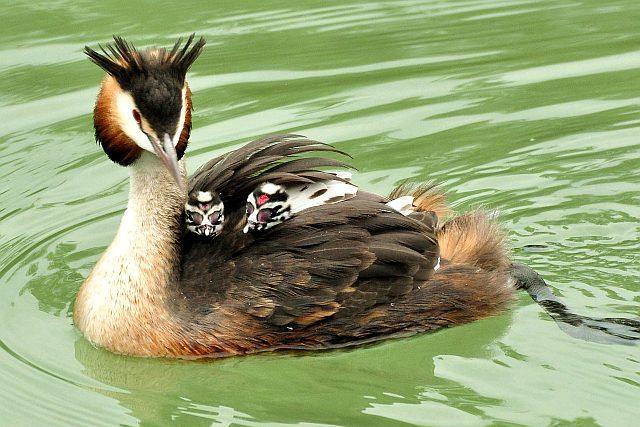 Чомга птица с потомством - фото