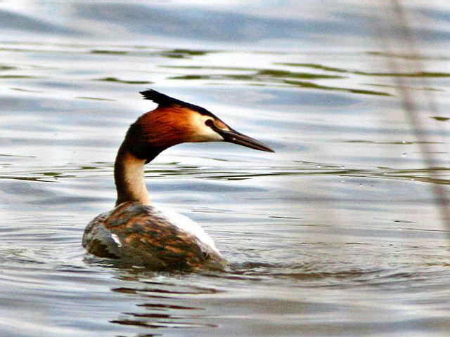 Чомга птица фото в естественной природе.