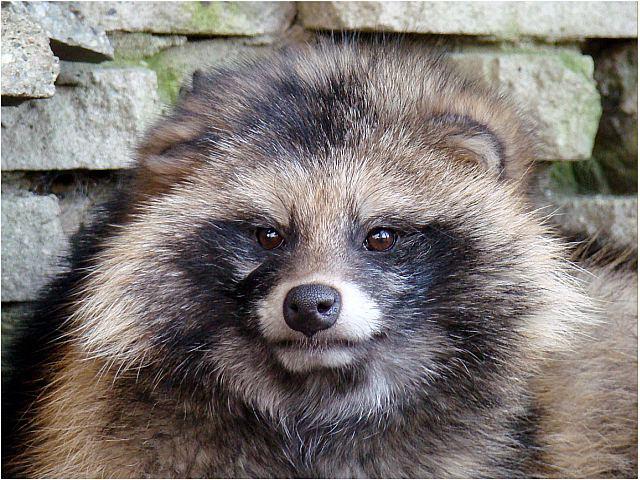 фото енотовидной собаки