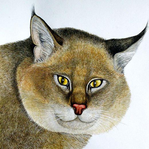 дикий камышовый кот – фото