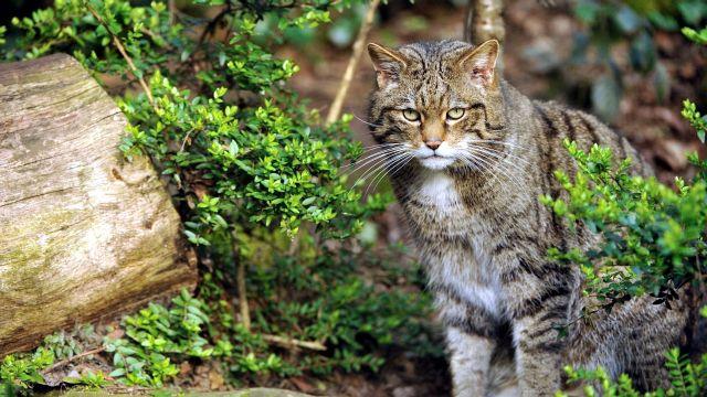 фото кавказская лесная кошка